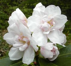This plant is named:  Queen Anne's.  It is a double blossom starting off with pink and then the outer petals fade to white. Large leaf beauty.  Likes part shade/sun. winter hardy.