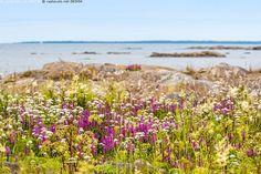 Ulkosaaren kukkaloistoa - Itämeri Merenkurkku Pohjanlahti Selkämeri heinäkuu kallio kari kesä kivi kukkaloisto lehtovirmajuuri meriputki mesiangervo rantakukka saari saaristo ulkosaaristo