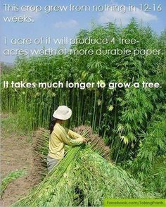 #Industrial #Hemp: Produces 4 acres tree paper on one acre in 12-16 wks. Trees yrs to grow. Ravaged forests long enough. John Roulac, Nutiva hemp, coconut, chia, palm oil products on #SmartHealthTalk 4-17-14. Changed world w/leadership. Showed health/economic hemp benefits. Millions rainforest acres to barren land w/rows of palms. Oil used processed food worldwide. Paul's example helps group like Greenpeace get Proctor & Gamble to stop, Not much rainforest left anyway. Nutiva always…