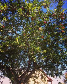 You know it's #october when the apple tree is bearing fruit! Robinson House is peaking out at the bottom! #autumn #appletree #ouroshawa #oshawa #oshawamuseum #robinsonhouse