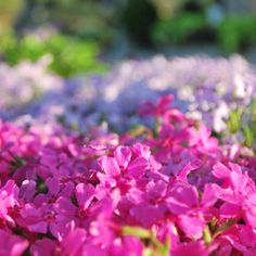 Creeping phlox in full bloom at the garden center. Landscape Design, Garden Design, Creeping Phlox, Happy Earth, Spring Blooms, Earth Day, Gardening, Plants, Landscape Designs