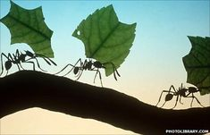"""Leaf-cutter ants """"retire"""" to carrying leaves when their teeth wear out.  Cool picture."""