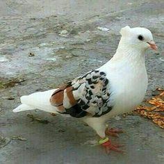 L♥ve this pigeon