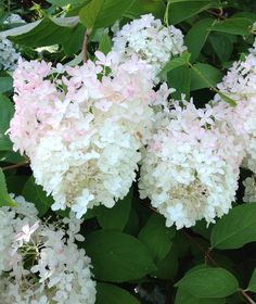 Lush! White, soft pink blooms at Mohonk Mountain House...