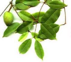 A mangabeira é abundante em todos os tabuleiros e nas baixadas litorâneas da região Nordeste, onde se obtém - de forma extrativista - a quase totalidade dos frutos colhidos. Acha-se as frutas também nos cerrados do Centro-oeste, no norte de Minas e em parte da Amazônia. O potencial para o aproveitamento da mangabeira inteira é muito bom, apesar de que apenas os frutos apre