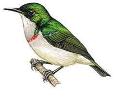 Banded Sunbird (Anthreptes rubritorques)