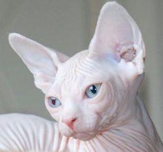 #sphinxcat #creamysphinxcat Sou feliz assim! Não preciso de pelagens quentes.