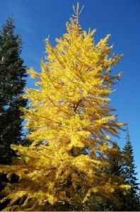siberian larch - trees for AB Acres suggested by Danielle Zadunayski Larch Tree, Plant Identification, Language Of Flowers, Deciduous Trees, Woodland Garden, Fir Tree, Biomes, Color Photography, Landscape