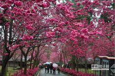 九族櫻花盛開,美麗璀璨。(沈揮勝攝)