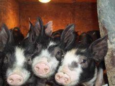 My three little pigs. Joshua and Samantha Tiny Pigs, Pet Pigs, Three Little Pigs, This Little Piggy, Berkshire Pigs, Farm Animals, Cute Animals, Pig Breeds, Teacup Pigs