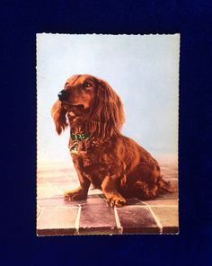 Unused long haired Dachshund dog photo postcard from 1967. Printed in West Germany. Beautiful collectible!
