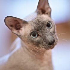 Oriental hairless cat