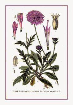 Scabiosa  São plantas herbáceas, floríferas e perenes. Os membros deste gênero são nativos da Europa ,Ásia e África.  Devido a beleza de suas flores, muitos cultivares foram desenvolvidos como plantas ornamentais para jardins. Crescem de 70 cm a 1 m de altura.