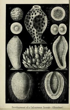 Development of a calcereous sponge. Frontispiece in The History of Creation. Ernst Haeckel. 1876.