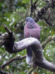 Laurel Pigeon - Photo by Ingo  Close to the roadside in the El Cedro laurel forest, La Gomera, Canary Islands, January 2003