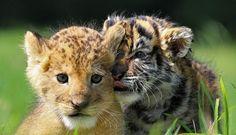 Giappone, l'incredibile amicizia tra la tigre e il leone: i cuccioli sono…