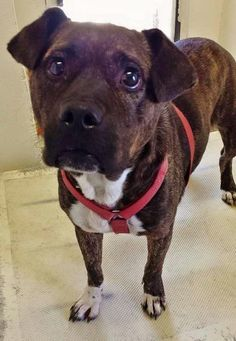 URGENT** KEIRA is 5 and she is so gentle and affectionate even though you can see she is scared and worried. This beauty needs help. Please SHARE for her sweet life, a FOSTER or adopter would save her now. Thanks!  #A4859082 I'm an  5 year old female pit bull. at the Carson Animal Care Center since July 23, 2015
