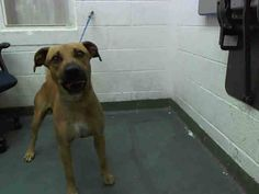 BROWNIE (A1636252) I am a male brown and white German Shepherd Dog and Labrador Retriever.  The shelter staff think I am about 2 years old.  I was found as a stray and I may be available for adoption on 08/21/2014. — hier: Miami Dade County Animal Services. https://www.facebook.com/urgentdogsofmiami/photos/pb.191859757515102.-2207520000.1408576236./825835604117511/?type=3&theater