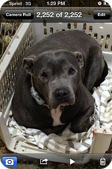 ***AFFECTIONATE THROW AWAYA SENIOR MAMA NEEDING FOREVER HOME 4/7/16. Mama Pittie's Story... this senior is just happy with a bed to call her own. years of breeding and mistreatment has not stopped this dog from knowing how to love. MAMA PITTIE is about 8 years old if you are looking for a walking partner who like to take it slow and steady then MAMA PITTIE is the dog for you.MIDDLE ISLAND, NY - Pit Bull Terrier Mix. http://www.adoptapet.com/pet/14532825-middle-