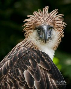 Phillipine Eagle // The King !                                                                                                                                                                                 More