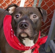R.I.P. LADY | KILLED 5/4/16 || TO BE DESTROYED 05/04/16 **NEEDS A NEW HOPE RESCUE TO PULL** A volunteer writes: Lady is said to be an indoor pet. Indeed, she was never walked as she was too wary of the street according to her former owner, who also said she never was around any other dog or cat. She is known to like children, though and was gentle with them. It must be quite a shock for a dog like Lady to land in a place like the care center.