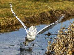 Snowy Owl, Canada. Photograph by Vince Maidens