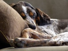 Bluetick Coonhound Dog