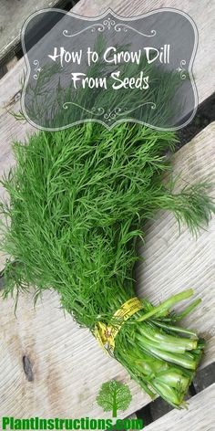 How to Grow Dill From Seeds - Plant Instructions Growing Dill From Seed, Growing Herbs, Planting Dill, Planting Vegetables, Vegetable Gardening, Veggies, Gardening For Beginners, Gardening Tips, Organic Gardening