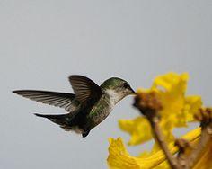 Vervian hummingbird