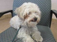 SABRINA - ID#A031240  My name is SABRINA. I am a spayed female, white and cream Shih Tzu mix.  The shelter staff think I am about 4 years old.  I have been at the shelter since Mar 13, 2015.  This information was refreshed 2 minutes ago and may not represent all of the animals at the TJ O'Connor Adoption Center.
