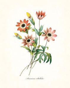 Illustration Blume, Botanical Illustration, Botanical Flowers, Botanical Prints, Joseph, Plant Drawing, Botanical Drawings, Floral Illustrations, Vintage Flowers