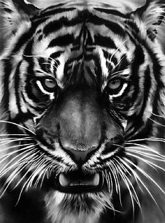 Robert Longo's White Tiger. Amazingly Beautiful. Just wow. for a while i tought this was the tiger from the gallery in SHA. but nope. huh. wonder who the other artist was...