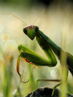 Had a really intense visualization during meditation that I was a praying mantis (does that count as a dream? Or do I feel a new board coming on?) It was amazing and beautiful at the time, but looking through pictures of mantises now is TOTALLY giving me the heebie jeebies...