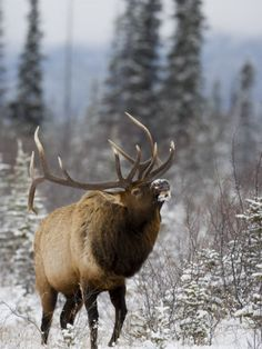 Bull Elk Bugling in the Snow, Jasper National Park, Unesco World Heritage Site, Alberta, Canada Photographic Print by James Hager at AllPosters.com