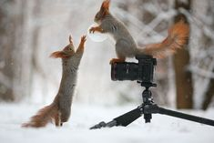 These Adorable Squirrels Playing In The Snow Will Make Your Day.