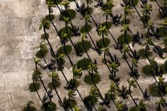 Palm trees seen from above