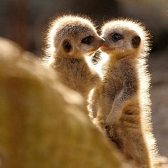 LOVVVE meerkats! And these babies are the sweetest