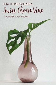 This plant is it. The Monstera adansonii or Swiss Cheese Vine plant is the smaller relative of the famous Monstera deliciosa and quite often mislabelled as Monstera obliqua, a much rarer family member. Find out how to propagate your Monstera adansonii and make new plants!   Read More at modandmint.com   #monsteraadansonii #monstera #swisscheesevine #indoorplants #houseplants #hangingplants #trailingplants #propagation #plants #indoorgardening