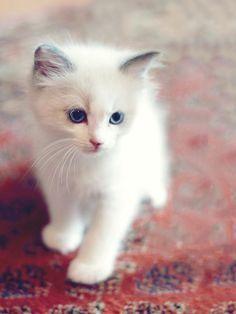 Snowkit Kittens Cutest Baby Cats Pretty Cats