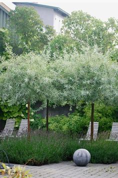 Almbacken: Snygg kombo - lavendel och silverpäron While historical with idea, the particular pergola have