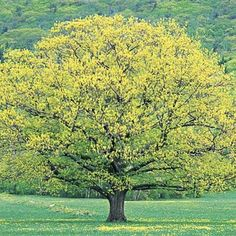 My Enchanting Cottage Garden: 8 Fastest Growing Shade Trees Best Shade Trees, Fast Growing Shade Trees, Deciduous Trees, Trees And Shrubs, Trees To Plant, Garden Shrubs, Garden Trees, Backyard Trees, Flowers Garden