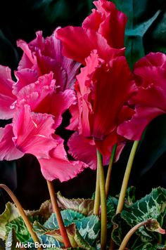 Ruffled Cyclamen in various gorgeous red shades. Processed in Photomatix pro 4 Growing Roses, Growing Plants, Bulbous Plants, Plant Diseases, Rose Bush, Love Garden, Plant Needs, Exotic Plants, Types Of Plants