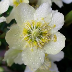~~A Christmas Rose in the rain by Bienenwabe~~