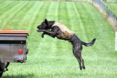 Cain - Malinois/Dutch Shepherd Working Dog in Training    www.kentuckycanine.com