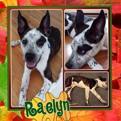 """Hi! My name is Raelyn, but my foster mom calls me """"Rae"""" because I am like a little """"rae"""" of sunshine. I am a cattle dog mix and weigh about 20-25 lbs.  I am a curious pup that loves to play and explore. I recently had knee surgery so my foster mom is working to make sure that I don't jump or run around too much until I am completely recovered. I love being close to her and follow her everywhere! I am a huge snuggler too.  Visit me at the Adoption Center! 5533 Weslayan Houston, Tx 77005"""