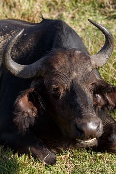 Stoned - African Buffalo Syncerus caffer Stoned - The African buffalo or Cape buffalo is a large African bovine. It is not closely related to the slightly larger wild water buffalo of Asia and its ancestry remains unclear.