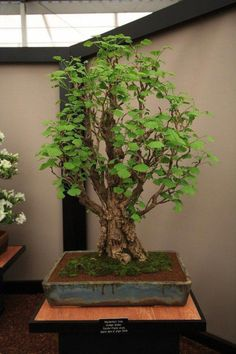 """This is a typical indoor bonsai. This is a Ginkgo biloba. It is an """"outdoor"""" tree, brought in for only brief periods of display. Wisteria Bonsai, Buy Bonsai Tree, Bonsai Tree Care, Bonsai Tree Types, Indoor Bonsai Tree, Bonsai Plants, Bonsai Garden, Potted Plants, Maple Bonsai"""