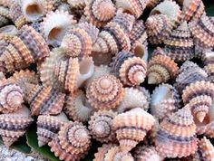 Candy Snail Cream Top Seashells -  ;)