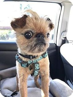 Pictures of BOB in Los Angeles, CA. a Brussels Griffon for adoption in Seymour, MO who needs a loving home.