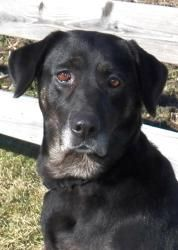 #adoptable female #retriever #dog in #Charleston #ILLINOIS